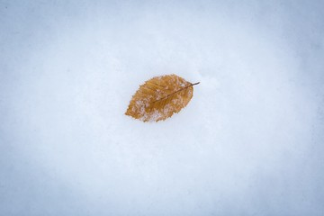 Beech leaf lying on white snow