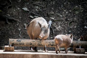 Wildschweine am Futtertrog