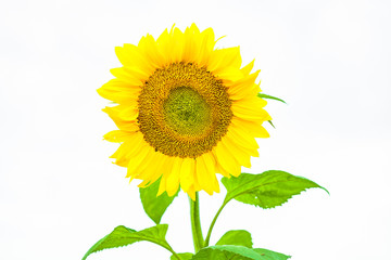 view of a isolated single sunflower