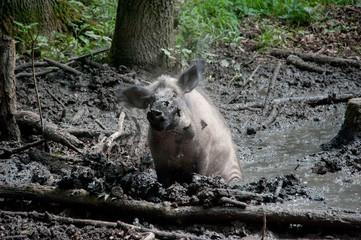 Wildschwein im Schlamm