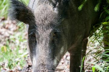 Wildschweinporträt