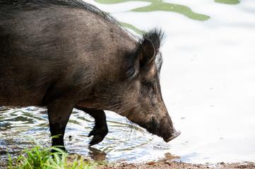 Wildschwein im Wasser