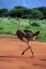 Ostrich in Tsavo East National Park, Kenya
