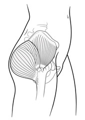 Detail of woman pelvic girdle,  The internal structure of the human pelvic belt, gluteus maximus, gluteus medius muscle,  side view. On a white background