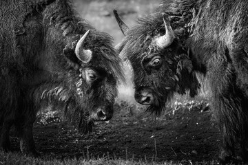 Two American bison, Bison bison, head to head, facing each other