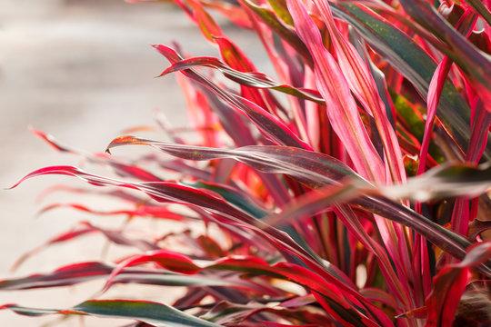 Cordyline leaves background