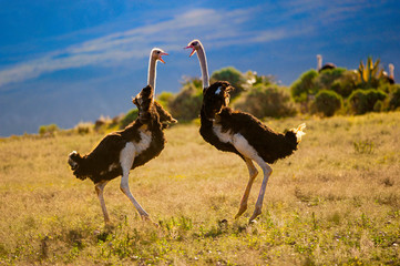 Poster Ostrich fighting ostriches