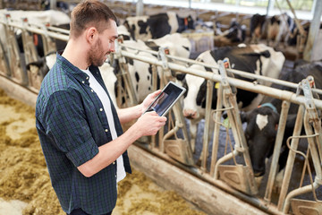 young man with tablet pc and cows on dairy farm