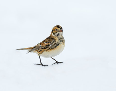 Lapland Longspurs in Winter