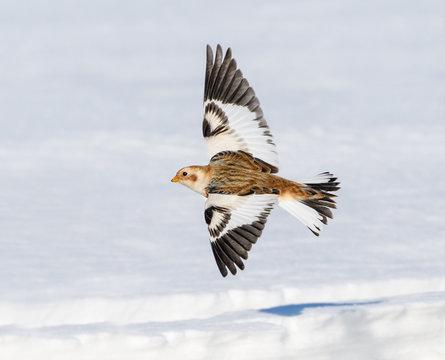 Snow Bunting in Flight in Winter