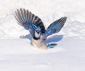 Blue Jay with Open Wings on Snow