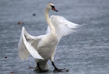 Mute swan walking on the ice of a frozen river Danube, in Belgrade, Zemun, Serbia.