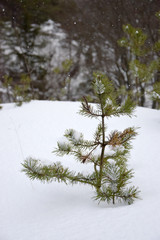 Young spruce in a snowy winter landscape