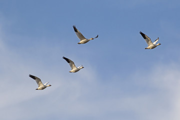 Birds flock of snow geese flying at Salton Sea nature area