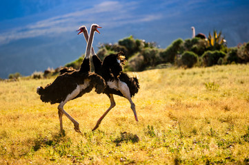 Canvas Prints Ostrich Dancing ostriches