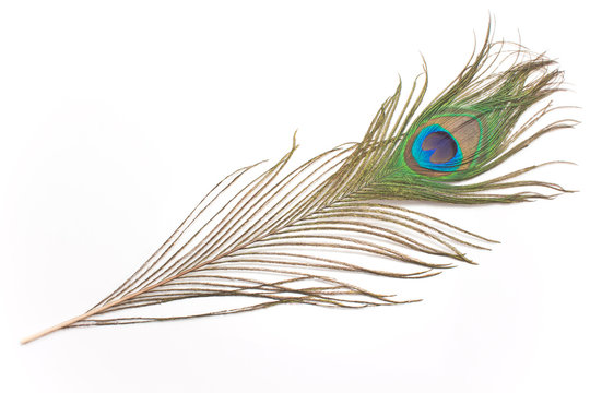 Peacock feather isolated on white