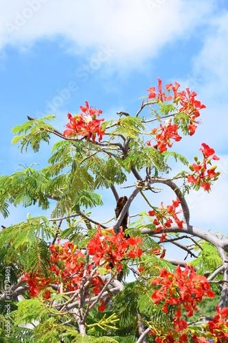 Palisanderholzbaum  Jacaranda mimosifolia, Palisanderholzbaum aus der Familie der ...