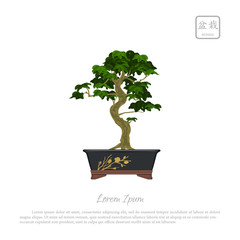 Bonsai tree in pot on white background