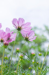 pink cosmos with white sky background in the park.