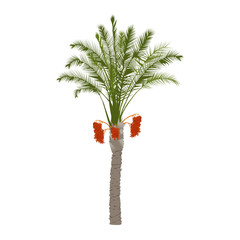 Date palm tree with fruits