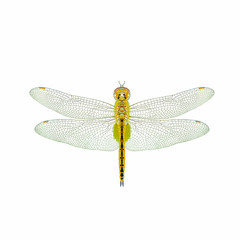 Globe Skimmer(Pantala flavescens), dragonfly isolated with white background.