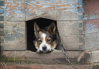 a sad dog looks out from his house
