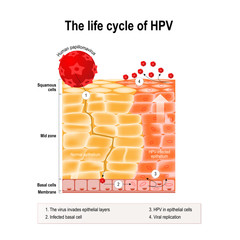 life cycle of hpv