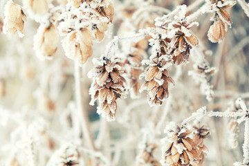Branch dry hops plants with cones in snow. Winter background. Dry hops plants branches covered with hoarfrost.