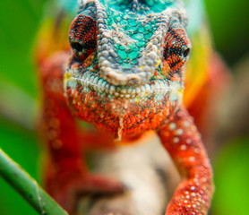 The head of a chameleon in the vicinity