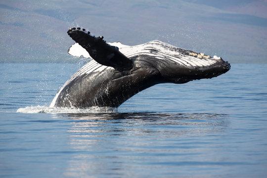 Buckelwal, Megaptera novaeangliae, humpback whale, Schwanzflosse, Springender Buckelwal, Hawaii, Maui, USA