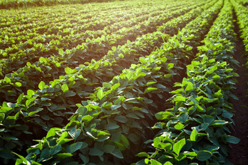Rows of young soybean plants.