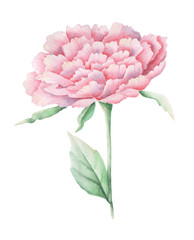 Hand painted watercolor pink flower, isolated on white background