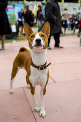 Basenji dog on a leash. Portrait