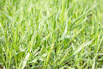 Bright green grass background spring. Green grass background tex