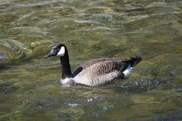 Doing the Goose Stroke
