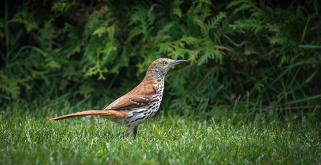 Lovely song bird, the Brown Thrasher (Toxostoma rufum), hunting in grass on a lawn - This bird loves dense thickets, living in nearby shrubbery, she hunts for insects to take back to her nest.
