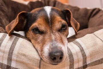 Hund liegt gemütlich in seinem Hunde Bettchen - Jack Russell 10 Jahre alt