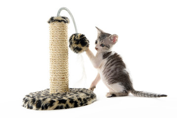 40 days kitten playing with a scratcher on a white background