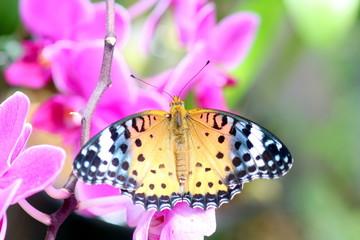 蘭の花にとまる蝶