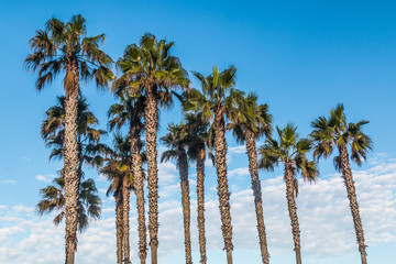 Palm trees with a background of blue sky and white clouds.