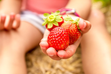 happy young child girl picking and eating strawberries on a plan