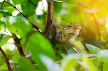 Close up thai chameleon on branch of tree