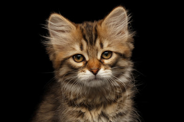 Close-up Portrait of Brown Tabby Siberian kitty looks unhappy and sad on isolated black background, front view