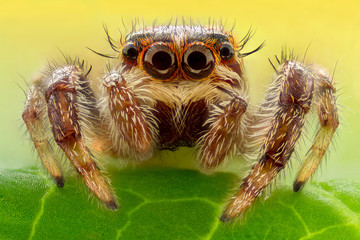 Extreme magnification - Jumping spider on a leaf