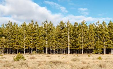 Bosque de Pino Negral, Resinero. Pinus pinaster. Pinar de Castrocontrigo, León, España.