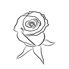 Sketch line drawing of rose isolated illustration on white backg