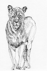 lion sketch hand drawn illustration