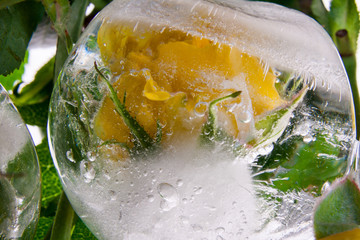 Gelbe Rose in kristallklarem Eis 1