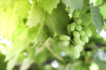 Green grapes on a farm. Close-up Image of Ripe Bunche of White Wine Grapes on Vine. Fresh Green grapes on vine. Summer sun lights. Defocus picture.