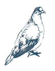 Hand drawn pair of dove isolated on white background. Pigeon vector sketch.